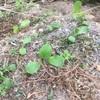 山の畑のほうれん草蒔き直し& カボチャ植え