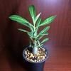 塊根植物、始めました~アデニウム ソマレンセをお迎え
