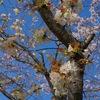 泉佐野・泉の森ホールの緑の桜と桜並木 ~2016.4.09~