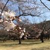 【お花見】代々木公園 開花状況 (2019/3/25) 〜ランチ花見場所取り情報