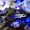 (海水魚)クロユリハゼ(1匹) 北海道・九州・沖縄航空便要保温
