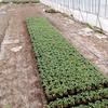 【農業体験】 トマトの苗の「ずらし作業」とパプリカを植えてきました!