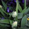 まだチューリップが咲かず、そろそろ咲くと思う