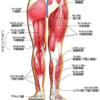 HTLV-1関連脊髄症(HAM)の症状:大腿がピリッと痛い