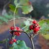 枯葉の下の草イチゴ
