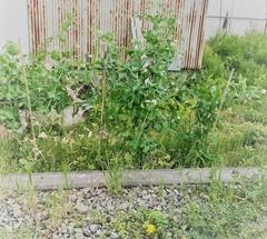 ★エンドウ豆の花