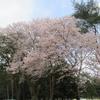 桜が満開になりました(^^♪