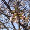 桜さん、個性的。 ♫♫♫