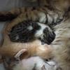保護猫ムーアさんの出産④5匹目は胎児残留でした。