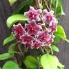 手毬のようなホヤの花〜ロイヤル ハワイアン パープルが咲いた〜
