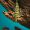 シニボティア・ロブスタ Sinibotia robusta