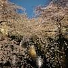 有名な中目黒の桜