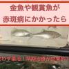 金魚や観賞魚が赤斑病にかかったら迷わず薬浴!早期治療が効果的!