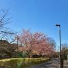 九段・千鳥ヶ淵の若木桜