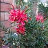 咲かないグレビレア