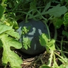 スイカ畑の手入れと収穫