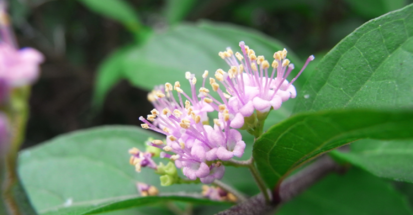 【雑学】自然観察指導員の徒然草=香りのよい木 臭気のある木~後編