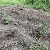 野菜の苗を植えました。
