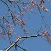 手賀沼遊歩道 桜咲く蝶遊ぶ