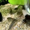 コリドラス・ピグミーの稚魚が産まれました