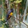 この国では普通の鳥 Black-headed Trogon (ブラックヘデッド トロゴン)