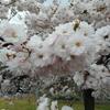 小布施絶品モンブランと桜祭🌸長野旅旅行記④