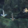 ファラクロノートゥス・アポゴン Phalacronotus apogon
