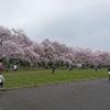 満開の桜をみながらジョギングしました