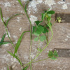 雑草の季節