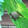 トマトの葉の裏にハチの巣が!?