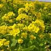 【笠岡市】春のお出かけにピッタリ!笠岡ベイファームの菜の花畑が満開です!