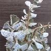 白色の葉が涼しげな姫宮さん【カランコエ】