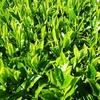 晩生品種 「おくひかり」の新芽