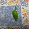 【家庭菜園】ジャンボピーマン収穫しました。