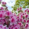 ツツジが咲き始めました。ぽかぽか陽気!4月半ばの近況報告…