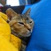 2月前半の #ねこ #cat #猫 どらやきちゃんA