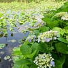 ✿先週の上野公園~不忍池