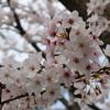 「近場で桜の写真を撮ったはなし。お題「気分転換」「ささやかな幸せ」」