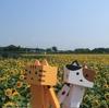 千歳市 小川農場の夏のひまわり迷路