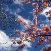 北の丸公園早春観察日記(桜の追っかけ日記始めます。)