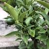 金柑、深緑の実が小さく可愛らしくなっています。