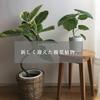 新しく迎い入れた観葉植物。フィカスアルテシーマ。