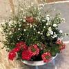 アンドロサセ+アレナリア+バーベナ=ふんわり可愛いアフロっぽい寄せ植え