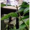 紫陽花とトンボ