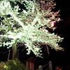 夜桜@本荘公園