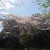 小机駅近くの「小机城址市民の森」の桜を愛でる