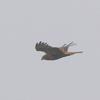 雨の手賀沼上空を飛ぶチュウヒ