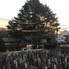谷中のヒマラヤ杉 剪定中 初日と2日目