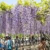 5分咲きと9分咲きの二段構え『五万石・藤まつり』