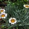 シルバーリーフと頭状花